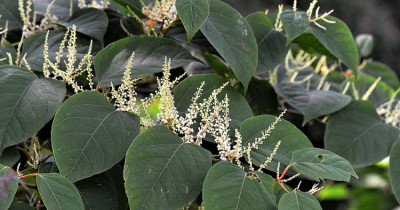 The threat of Japanese Knotweed to your home